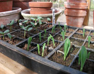 grow seedlings in a glass house greenhouse or cold frame